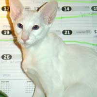 White Straight coated Peterbald kitten