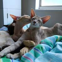Lilac Straight coated Peterbald kitten