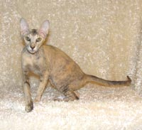 Countess Mara of Shamira, brush coat Peterbald queen