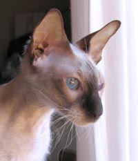 Peterbald cat chocolate point queen