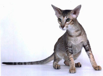 chocolate point peterbald queen, now retired