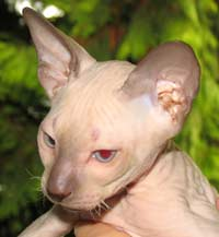 flock coat chocolate point peterbald cat